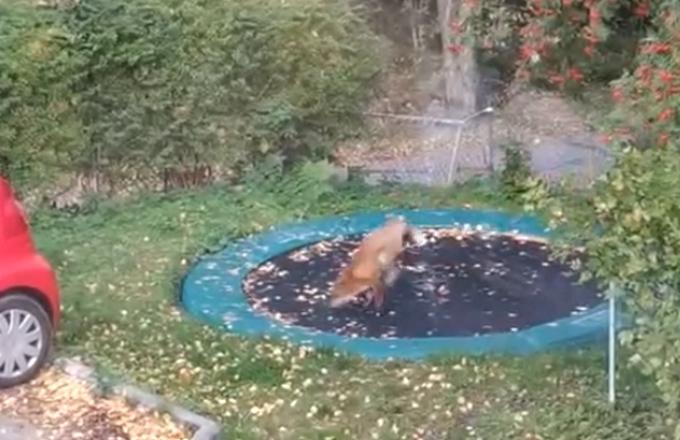 Svezia: i salti della volpe sul trampolino